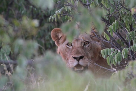 South African Lion Kills Poacher, Leaves Only Head Behind