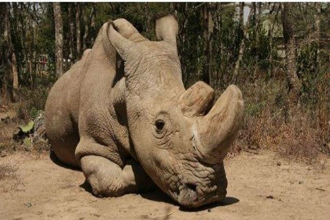 Sudan white northern male rhino dead